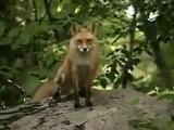 (Vulpes vulpes) Крик лисы обыкновенной